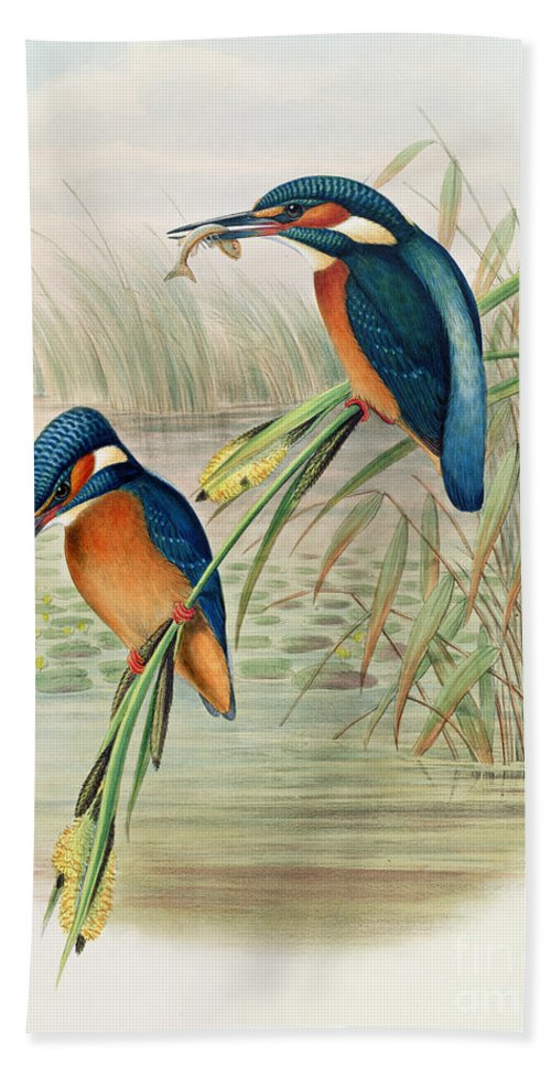 Kingfisher; Birds; Bird; Fish; Colorful; Reeds; River Bath Sheet featuring the drawing Alcedo Ispida Plate From The Birds Of Great Britain By John Gould by John Gould William Hart