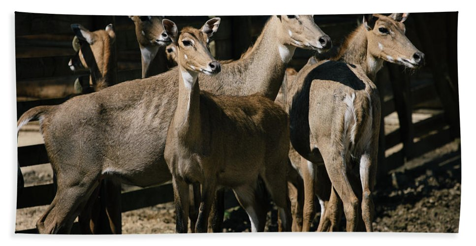 Antelopes Bath Sheet featuring the photograph Alert Antelopes by Pati Photography