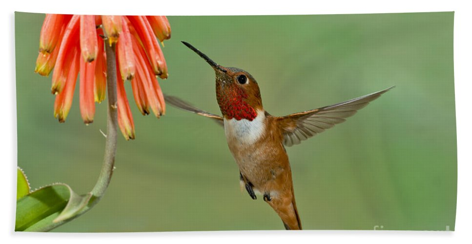 Allen's Hummingbird Hand Towel featuring the photograph Allens Hummingbird At Flowers by Anthony Mercieca