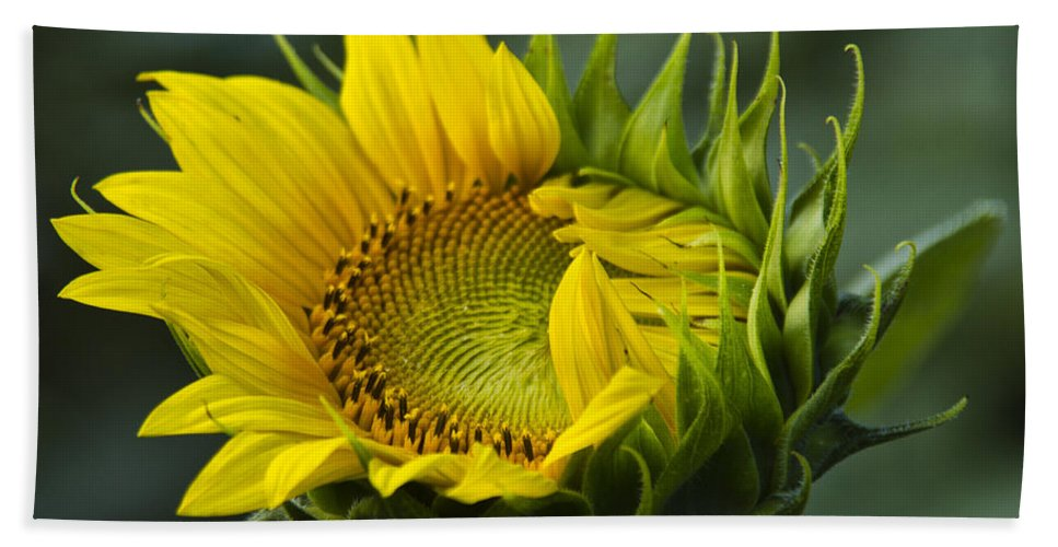 Sunflower Bath Sheet featuring the photograph Almost Open by Sharon M Connolly