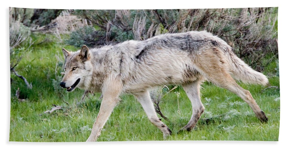 Wolf Hand Towel featuring the photograph Alpha Wolf On The Move by Max Waugh