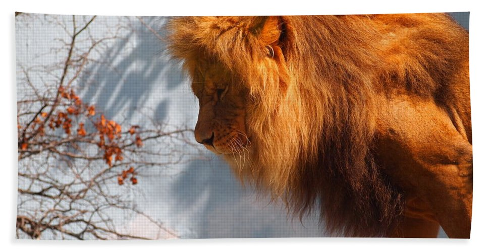 Lion Bath Sheet featuring the photograph Amazing Male Lion by Jennifer Craft