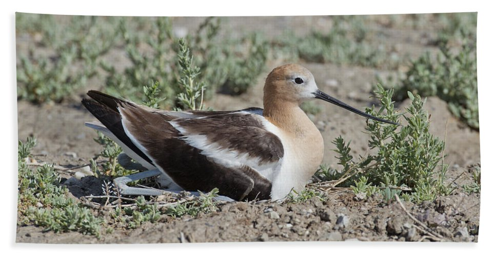 American Avocet Hand Towel featuring the photograph American Avocet On Eggs by Anthony Mercieca