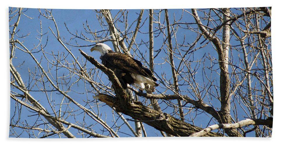 American Bald Eagle In Illinois Bath Sheet featuring the photograph American Bald Eagle In Illinois by Luther Fine Art