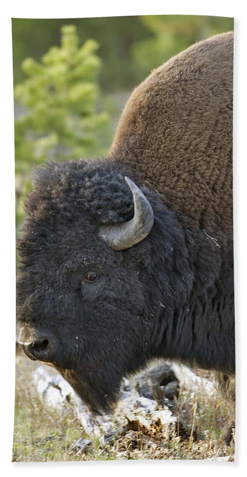 American Hand Towel featuring the photograph American Bison by Gary Langley