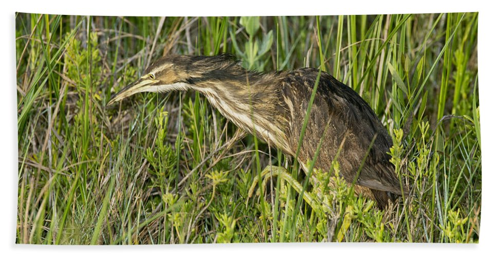 American Bittern Hand Towel featuring the photograph American Bittern by Anthony Mercieca
