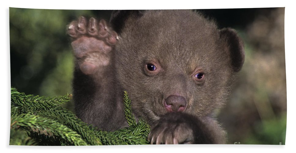 Black Bear Bath Sheet featuring the photograph American Black Bear Cub Wildlife Rescue by Dave Welling