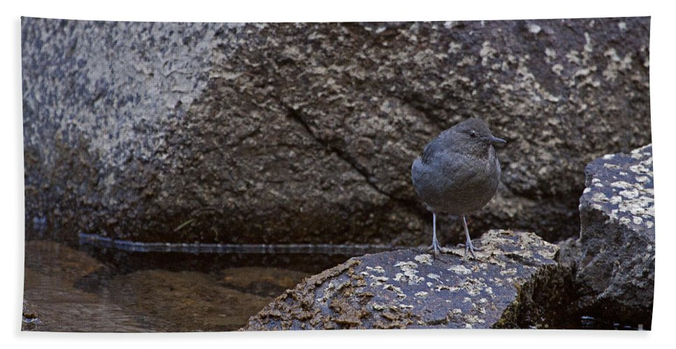Cinclus Mexicanus Hand Towel featuring the photograph American Dipper  #2488 by J L Woody Wooden