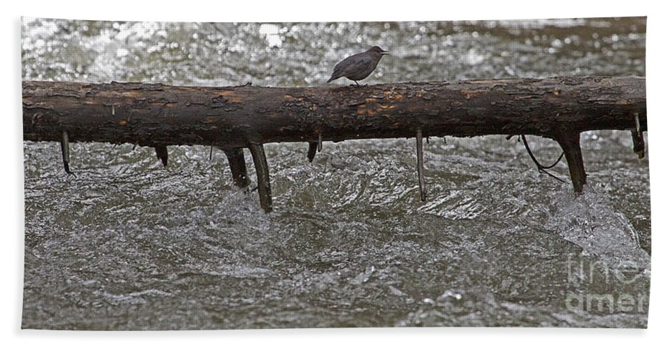 Cinclus Mexicanus Hand Towel featuring the photograph American Dipper  #7963 by J L Woody Wooden