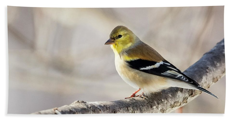 American Goldfinch Hand Towel featuring the photograph American Goldfinch by Bill Wakeley