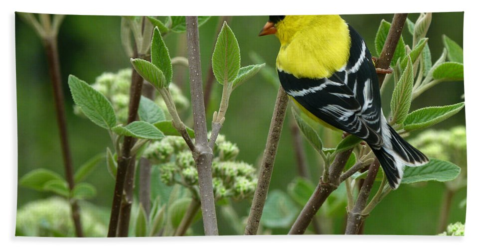 American Goldfinch Hand Towel featuring the photograph American Goldfinch by Bruce Morrison