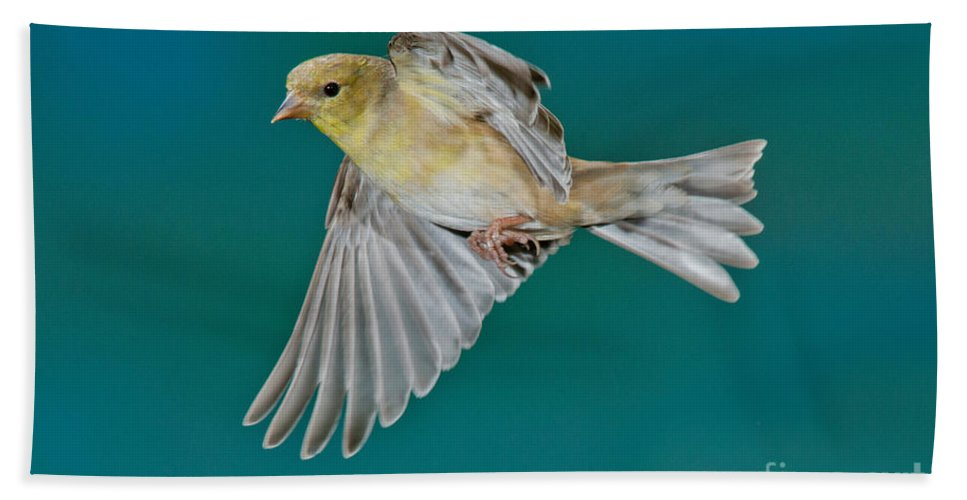 Carduelis Tristis Hand Towel featuring the photograph American Goldfinch Hen In Flight by Anthony Mercieca