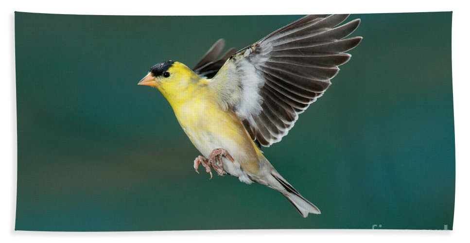Carduelis Tristis Hand Towel featuring the photograph American Goldfinch Male-flying by Anthony Mercieca