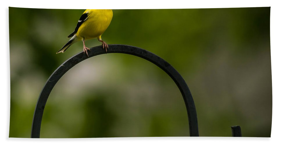 Canton Michigan Usa Bath Sheet featuring the photograph American Goldfinch Perched On A Shepherds Hook by Onyonet Photo Studios