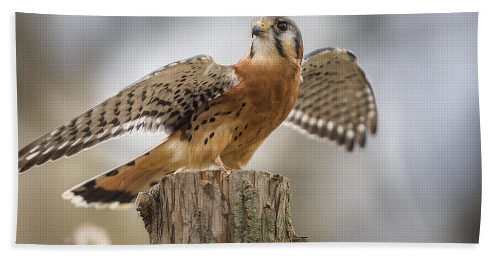 Agile Bath Sheet featuring the photograph American Kestral by Jack R Perry