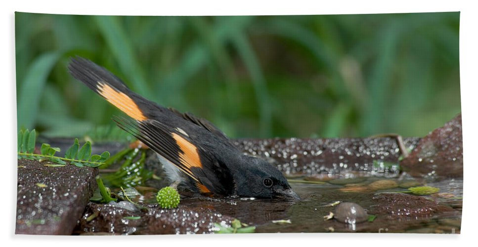 Animal Hand Towel featuring the photograph American Redstart by Anthony Mercieca