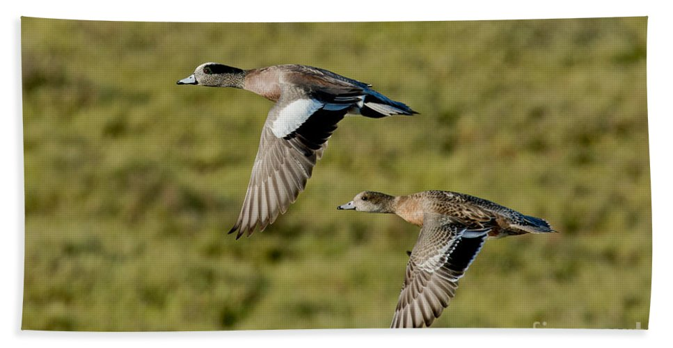 Fauna Hand Towel featuring the photograph American Wigeon Pair In Flight by Anthony Mercieca