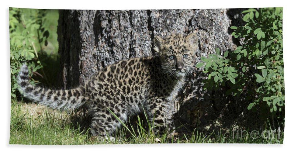 Leopard Hand Towel featuring the photograph Amur Leopard Cub Antics by Sandra Bronstein