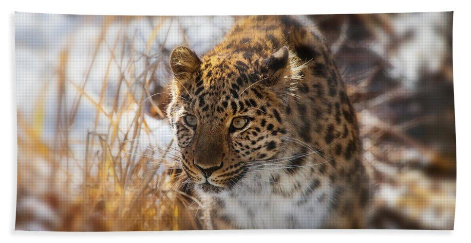 Amur Leopard Hand Towel featuring the photograph Amur Leopard by Karol Livote
