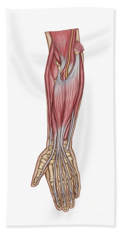 Vertical Bath Sheet featuring the digital art Anatomy Of Forearm Muscles, Anterior by Stocktrek Images