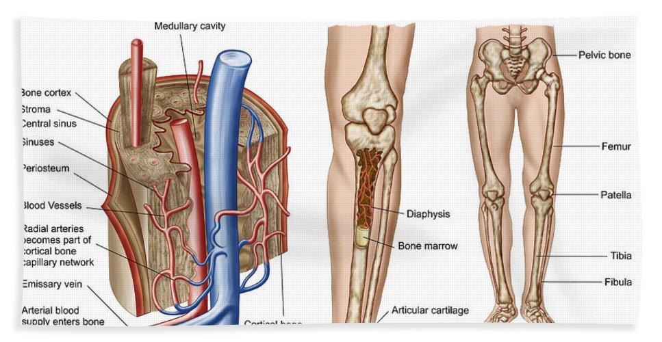 Horizontal Bath Sheet featuring the digital art Anatomy Of Human Bone Marrow by Stocktrek Images