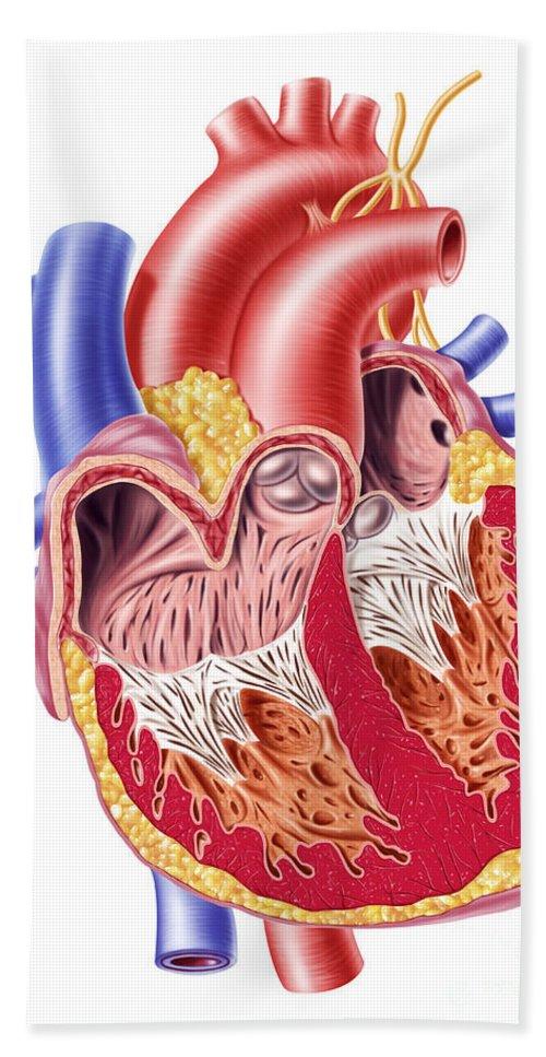 Anatomy Bath Sheet featuring the digital art Anatomy Of Human Heart, Cross Section by Leonello Calvetti