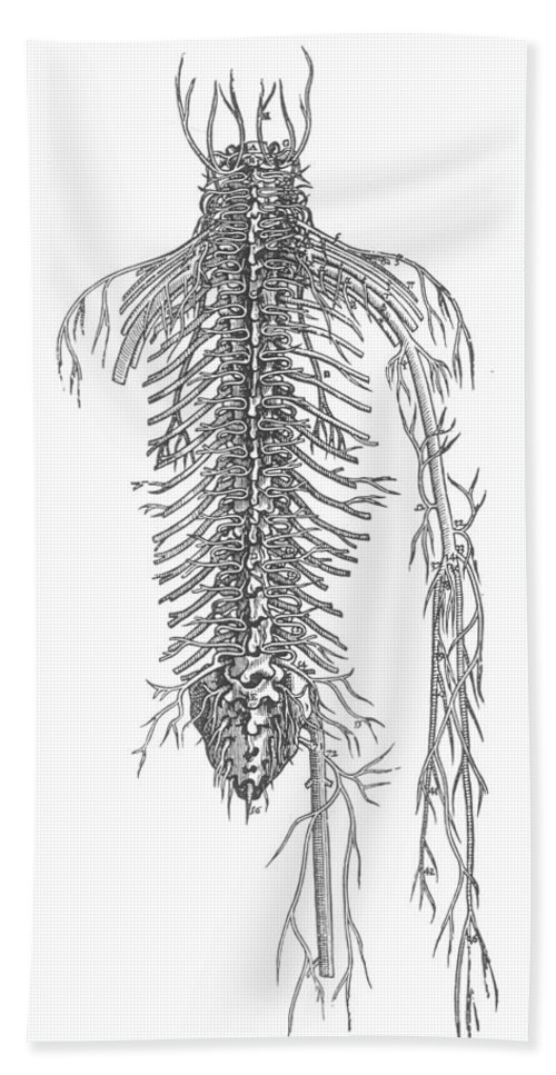 1543 Bath Sheet featuring the photograph Anatomy: Spinal Nerves by Granger