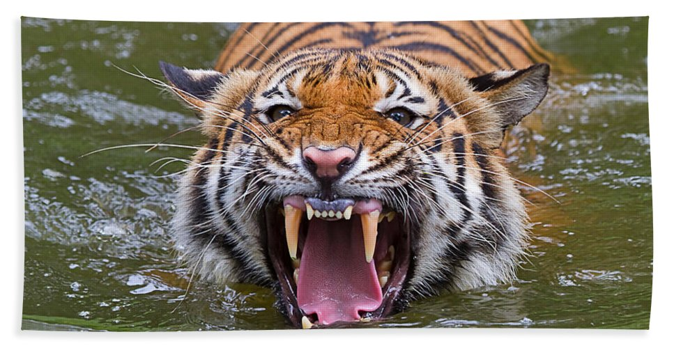 Animal Hand Towel featuring the photograph Angry Tiger by Louise Heusinkveld