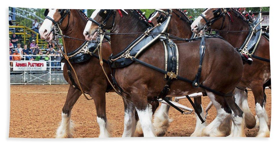 Anheuser-busch Bath Sheet featuring the photograph Anheuser Busch Budweiser Clydesdale Horses In Harness Usa Rodeo by Sally Rockefeller