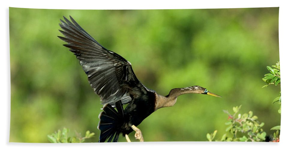 Darter Hand Towel featuring the photograph Anhinga Taking Off by Anthony Mercieca