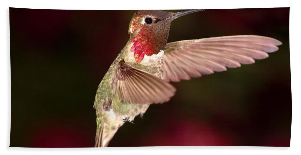 Animal Bath Sheet featuring the photograph Anna's Hummingbird And The Roses by Ron D Johnson