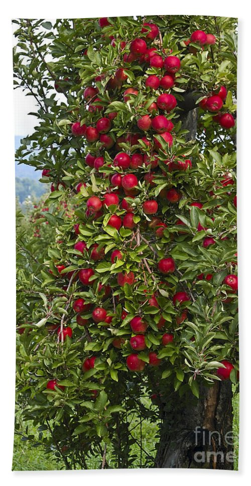 Apple Bath Sheet featuring the photograph Apple Tree by Anthony Sacco