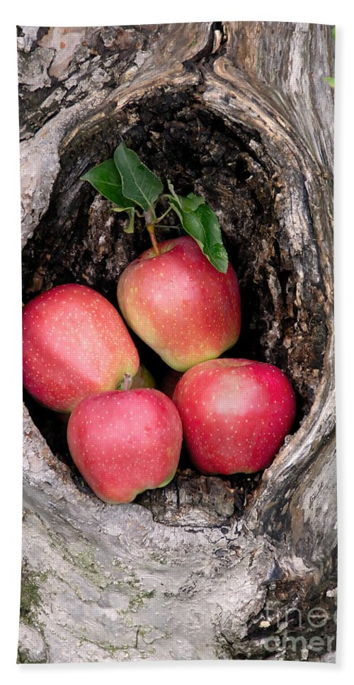 Apple Hand Towel featuring the photograph Apples In Tree by Anthony Sacco