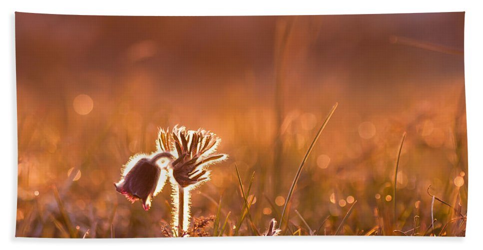Pasque Flower Hand Towel featuring the photograph April Morning by Kennerth and Birgitta Kullman