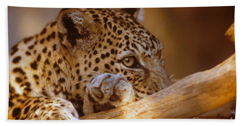 Arabian Leopard Hand Towel featuring the photograph Arabian Leopard Panthera Pardus by Eyal Bartov