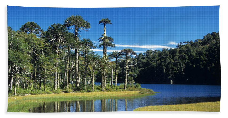 Chile Hand Towel featuring the photograph Araucaria Forest Chile by James Brunker