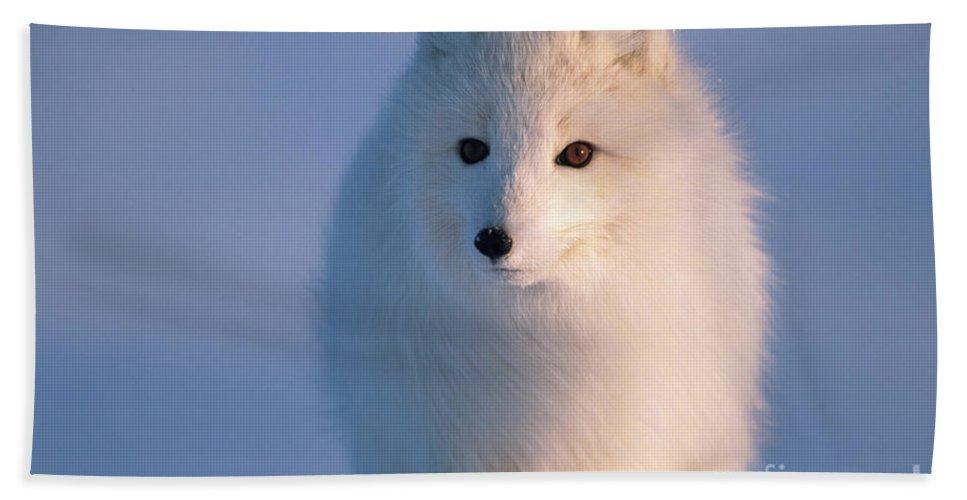 00342972 Bath Towel featuring the photograph Arctic Fox, Alaska by Yva Momatiuk and John Eastcott