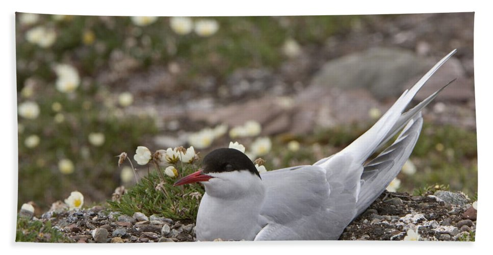 Nest Bath Sheet featuring the photograph Arctic Tern In Its Nest by John Shaw