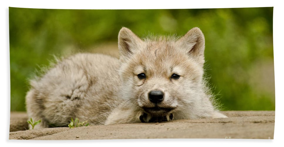 Arctic Wolf Hand Towel featuring the photograph Arctic Wolf Pictures 1118 by World Wildlife Photography