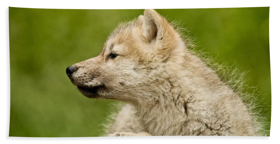 Arctic Wolf Hand Towel featuring the photograph Arctic Wolf Pictures 1123 by World Wildlife Photography