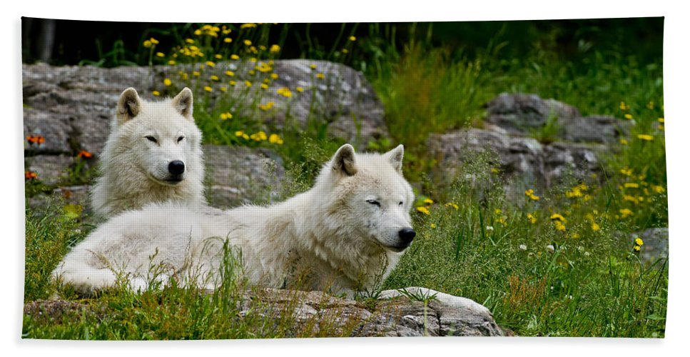 Arctic Wolf Hand Towel featuring the photograph Arctic Wolf Pictures 1128 by World Wildlife Photography
