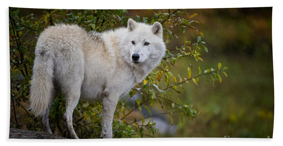 Arctic Wolf Hand Towel featuring the photograph Arctic Wolf Pictures 922 by World Wildlife Photography