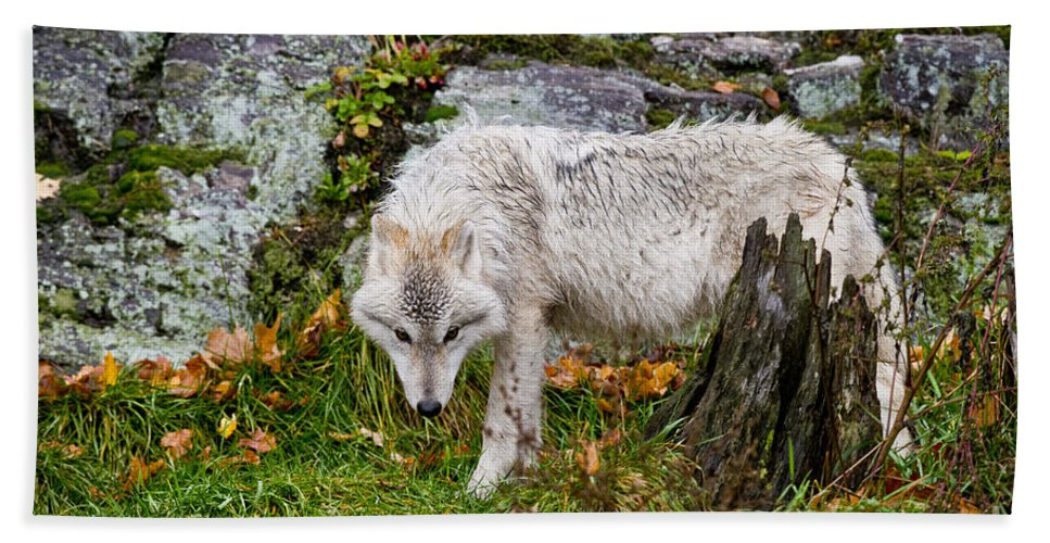 Arctic Wolf Hand Towel featuring the photograph Arctic Wolf Pictures 927 by World Wildlife Photography