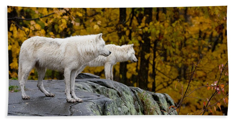 Arctic Wolf Hand Towel featuring the photograph Arctic Wolf Pictures 930 by World Wildlife Photography