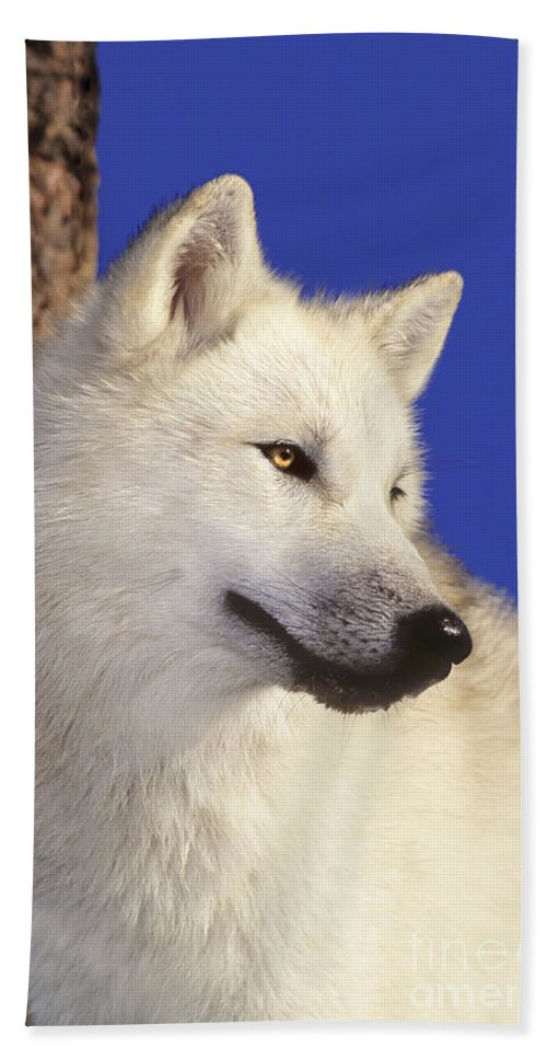 Arctic Wolf Hand Towel featuring the photograph Arctic Wolf Portrait Wildlife Rescue by Dave Welling