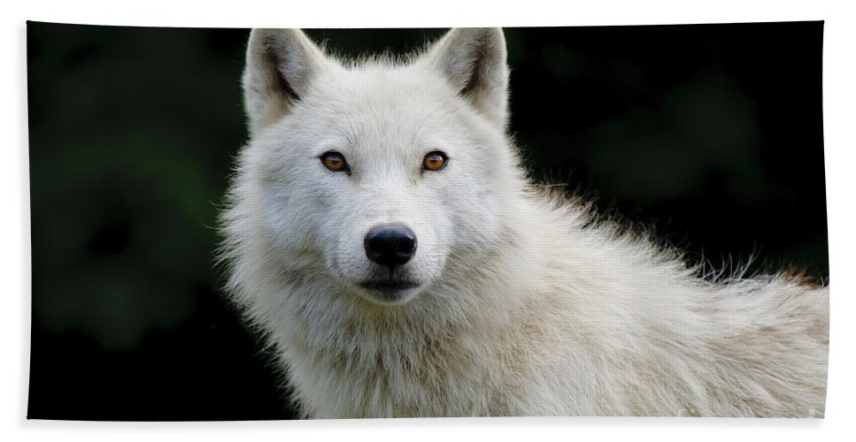 Arctic Wolf Photography Bath Sheet featuring the photograph Arctic Wolf Portrait by Wolves Only