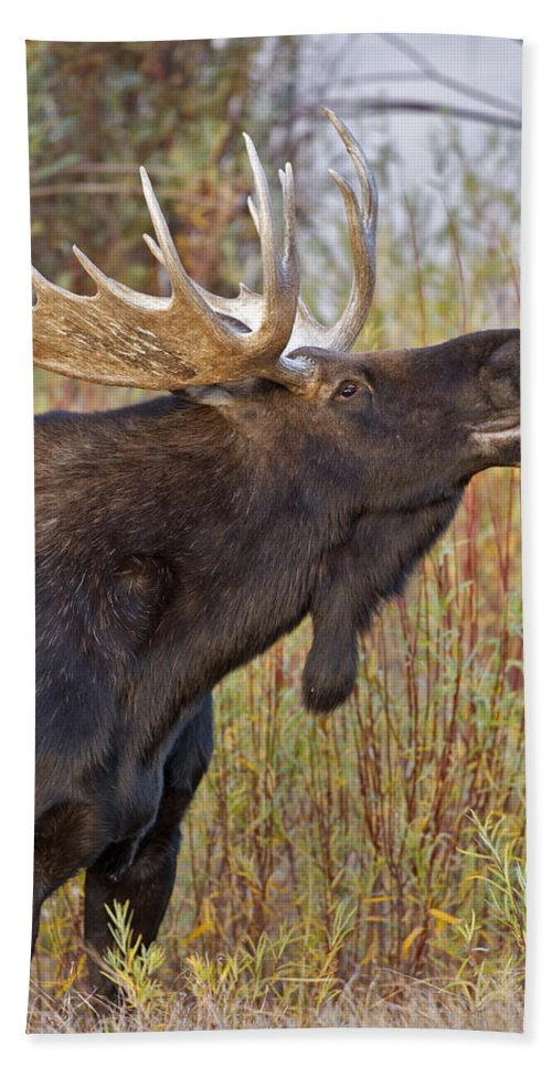 Bull Hand Towel featuring the photograph Autumn Bull Moose II by Gary Langley