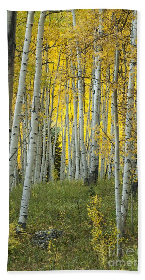 Alpine Bath Sheet featuring the photograph Autumn In The Aspen Grove by Juli Scalzi