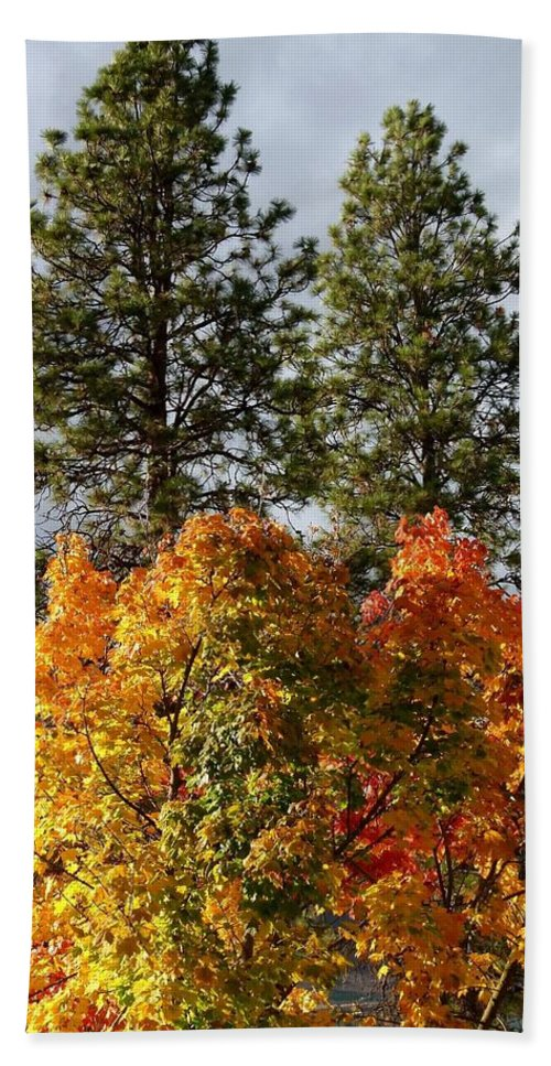 Autumn Maple With Pines Bath Sheet featuring the photograph Autumn Maple With Pines by Will Borden