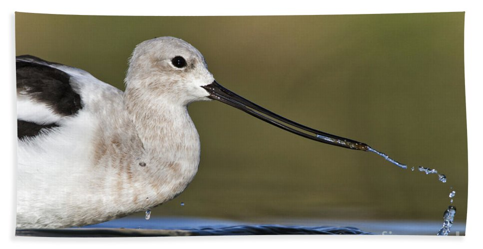 American Avocet Bath Sheet featuring the photograph Avocet Feeding by Bryan Keil